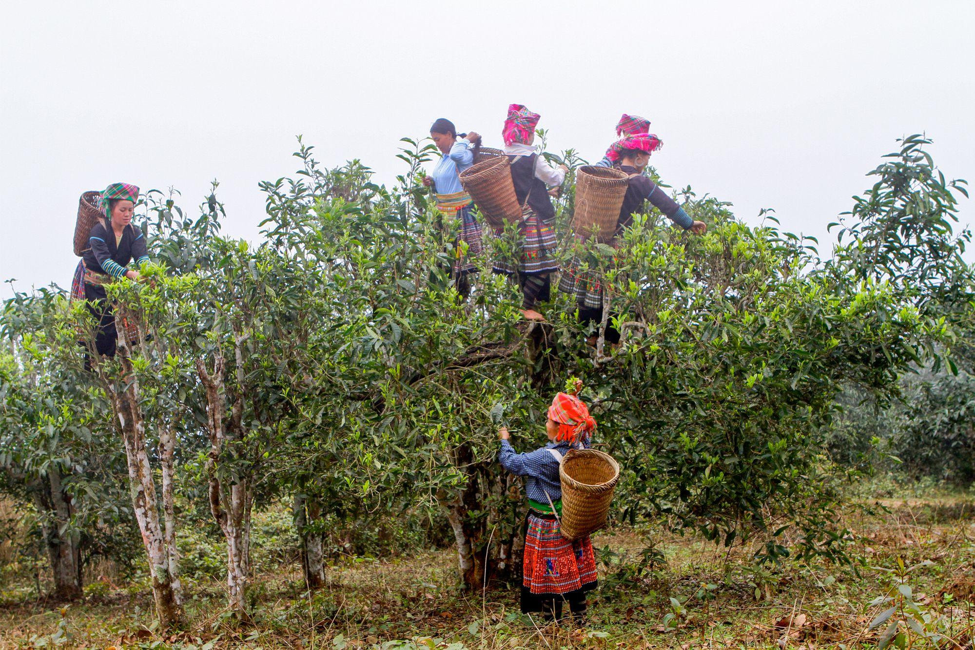 Au Vietnam, la cueillette sur les vieux théiers à grandes feuilles est spectaculaire.