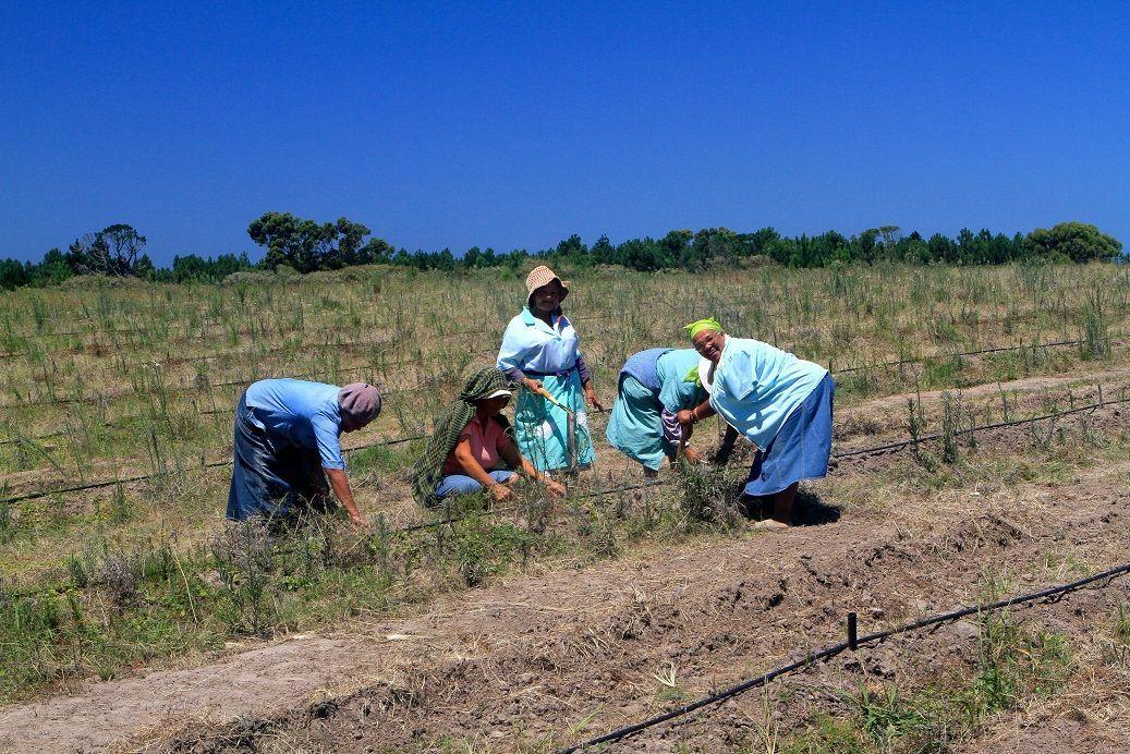 Un groupe de femmes est occupé au désherbage manuel des pieds de honeybush.